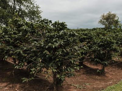 plantación de cafe